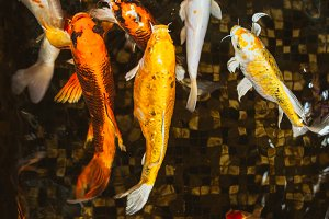Swimming of carp or Koi fish in the pool