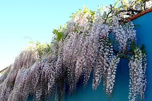 wisteria hanging the blue wall