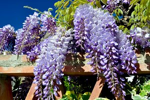 Wisteria hanging the wall