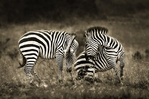 Zebra discussion