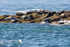 Harbor seals on beach