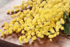 Mimosa flowers macro
