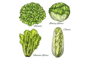 Cabbage and lettuce vegetable isoletad sketch