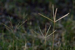 Bermuda Grass Flowers