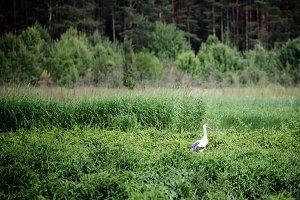 White stork bird