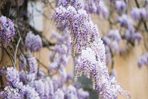 flowers acacia