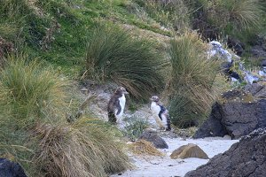 Molting yellow eyed penguins