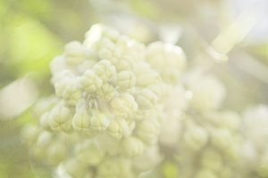 Vintage Lilac in Pale Lime Green