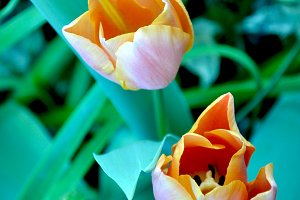 Couple tulips in the garden