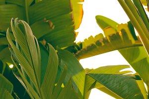 Banana Leaves/ Palm Tree