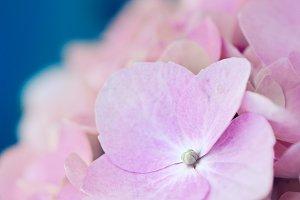 Pink hydrangea in macro