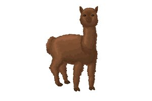 Alpaca isolated on white