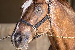 Portrait of the excellent horse