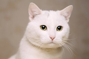 Portrait of white domestic cat