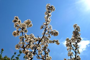 Cherry blossoms branch