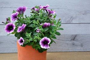 Purple petunia on clay pot