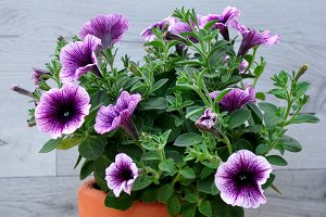 Purple petunia on clay pot
