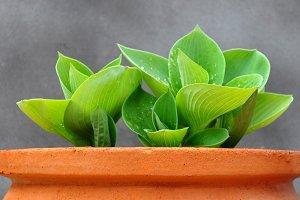 Green hostas on clay pot