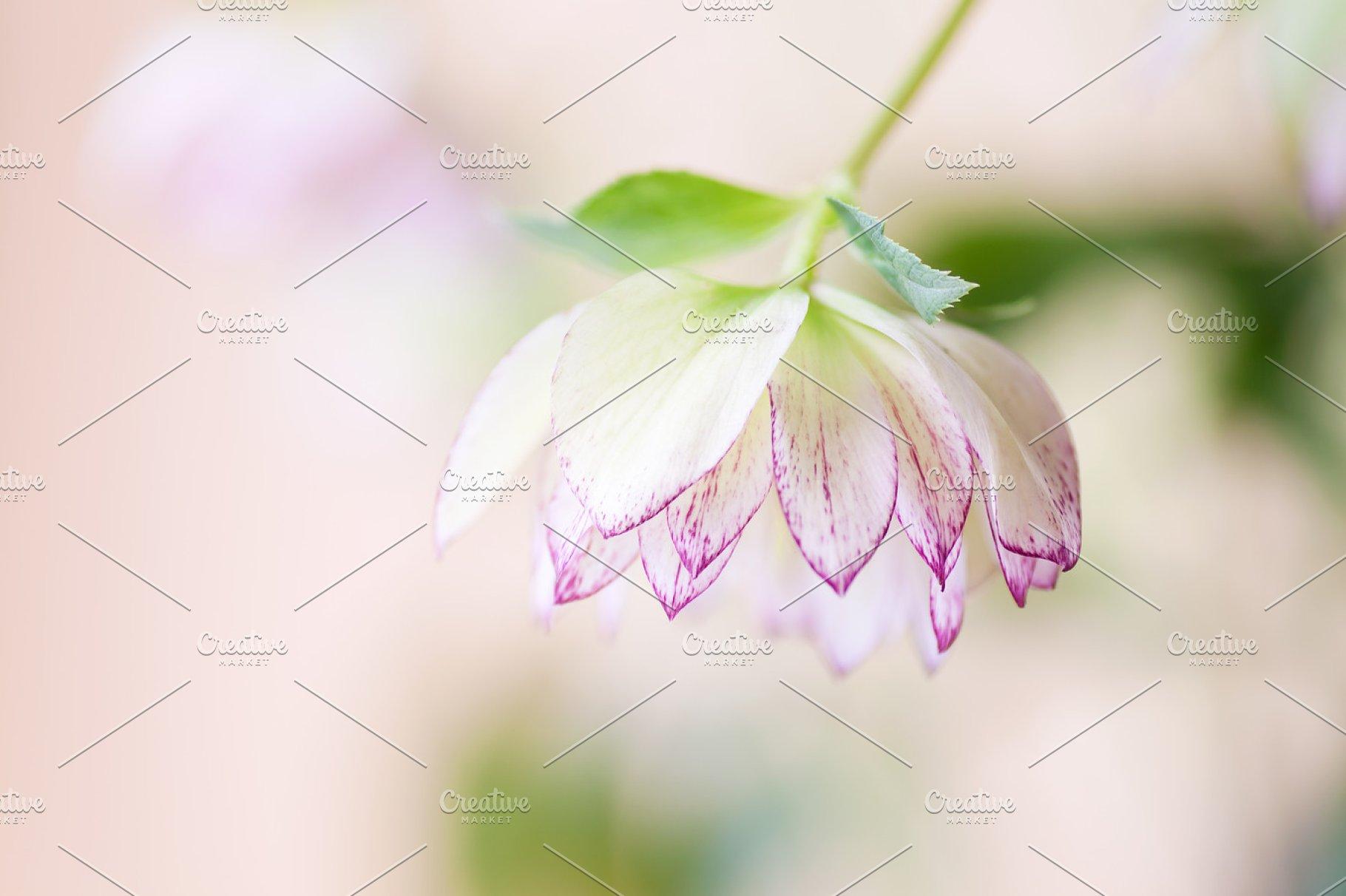 Hellebore Flower Aka Lenten Rose High Quality Nature Stock