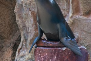 seal saltwater mammal
