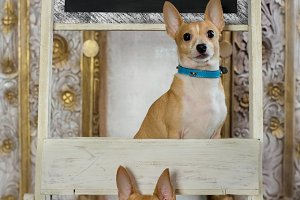 two vintage chihuahuas