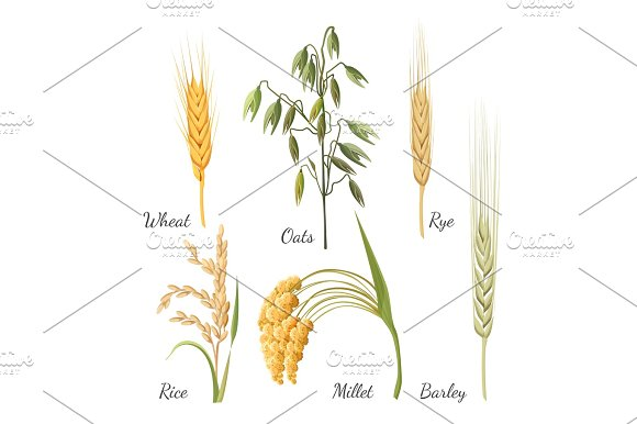 Barley Wheat Rye Rice Millet And Green Oat Vector Illustration