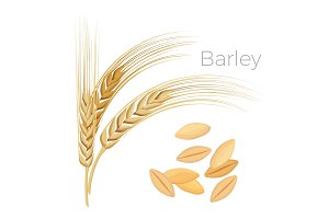 Barley, ears of wheat. Cereals with grains isolated on white