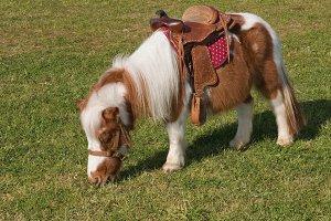 Shetland pony with chair