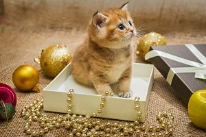 Little British kitten and Christmas