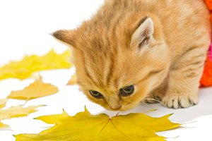 Little British kitten and autumn