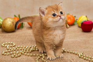 Small orange kitten and Christmas