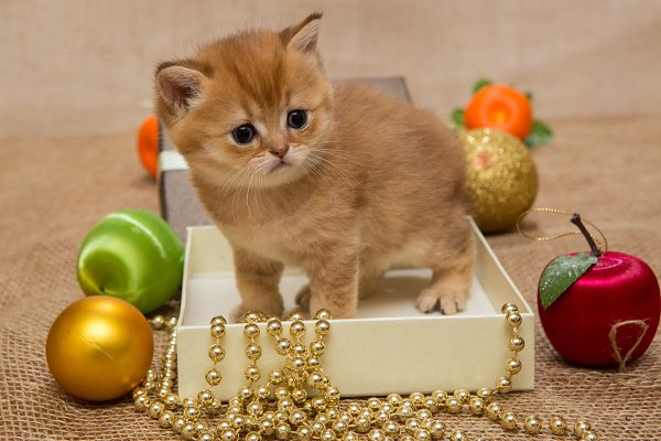 Small orange kitten and Christmas