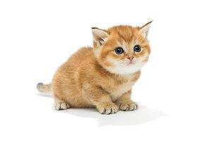 Small orange British kitten