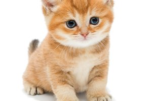 Small orange British kitten