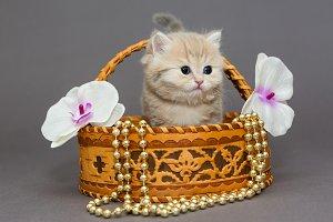 Little British kitten in basket