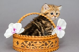 Little British kitten in basket