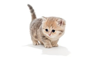 small British kitten on white