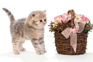 Small British kitten and basket