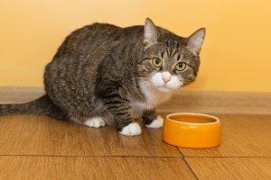 Cat eats from orange bowl