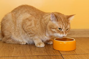 Cat eats from orange bowl