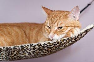 Cat sleeps in the hammock
