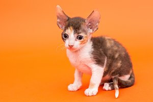 Kitten Cornish Rex
