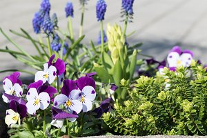 Little faces: colorful Violas Photo
