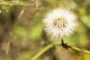 macro photography of a dandelion
