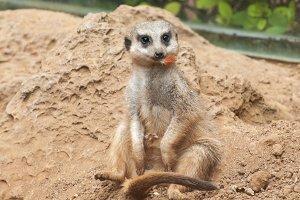 meerkat habitat