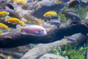 tropical fish swimming