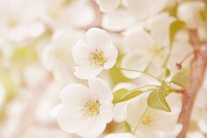 Cherry Blossom No. 5