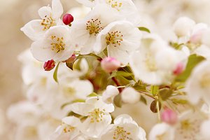 Cherry Blossom No. 2