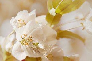Cherry Blossom No. 3