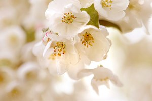 Cherry Blossom No. 4